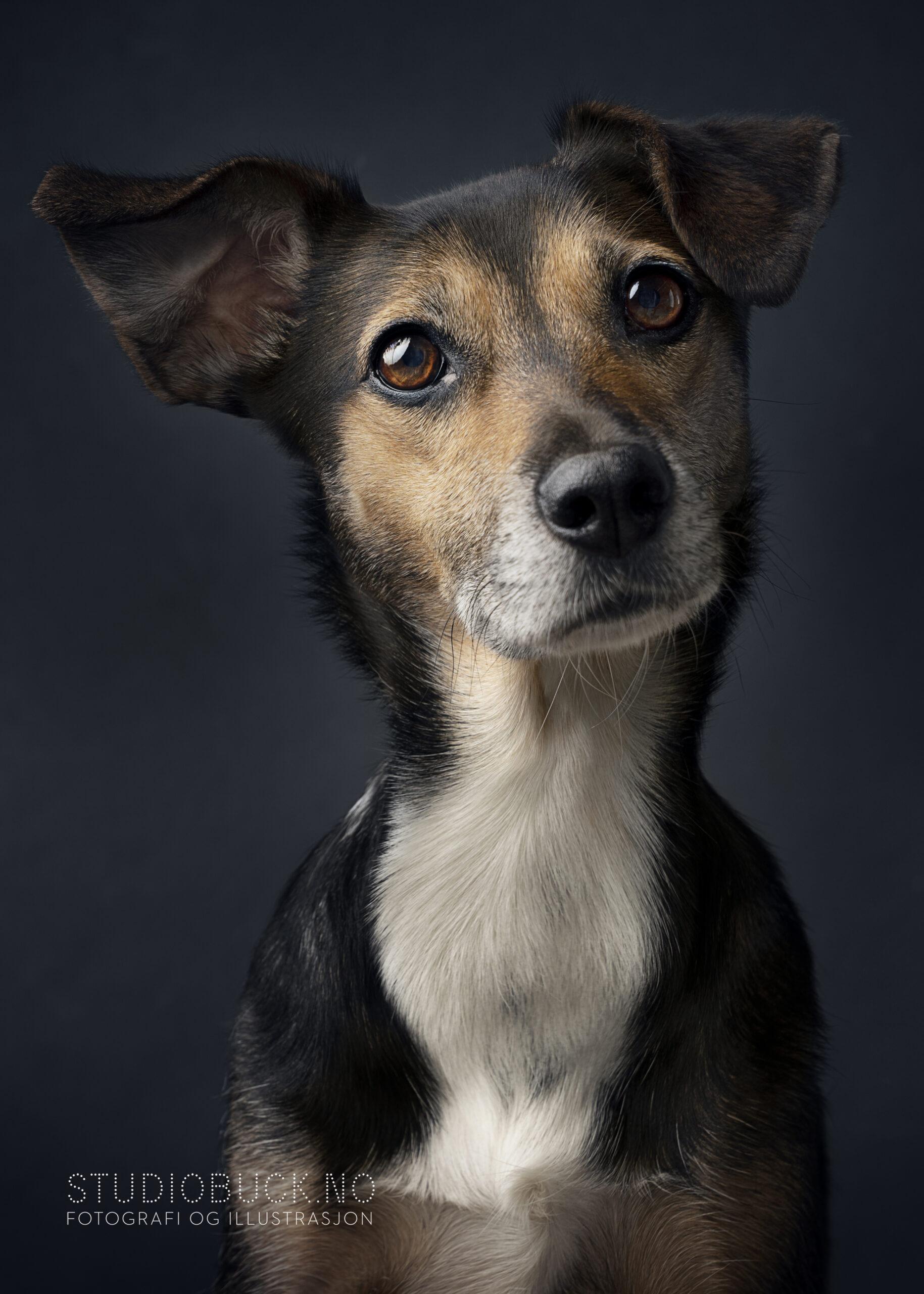 Portrett hund